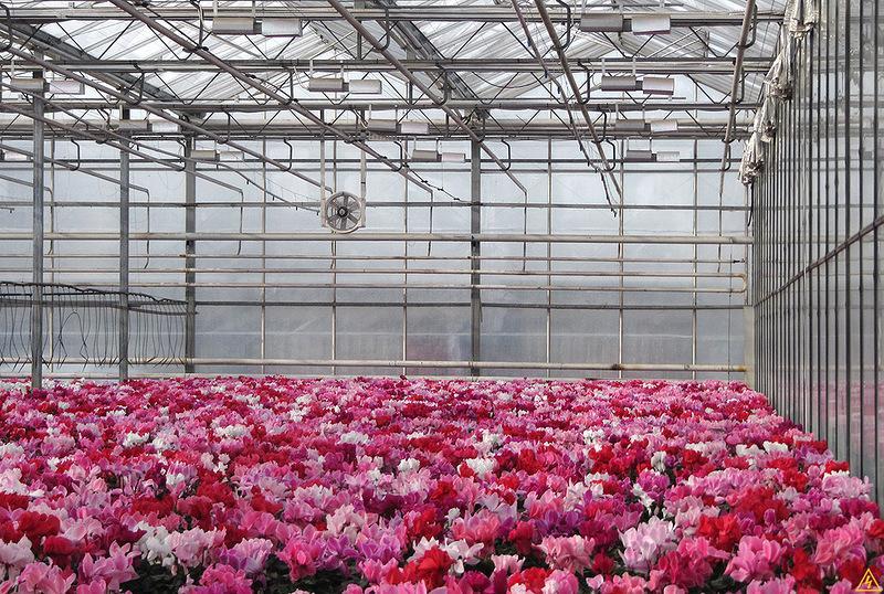 Выращивание каллы в теплице круглый год 65