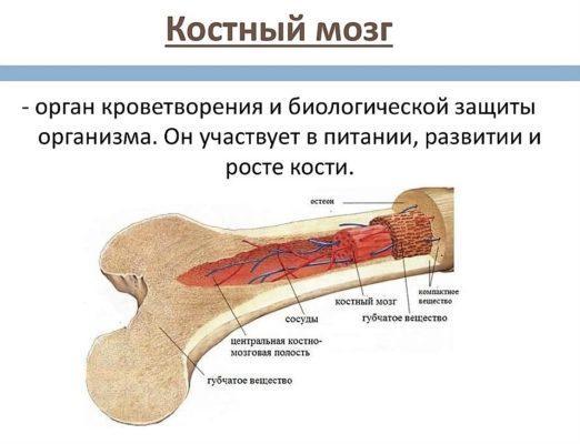 Донорство костного мозга