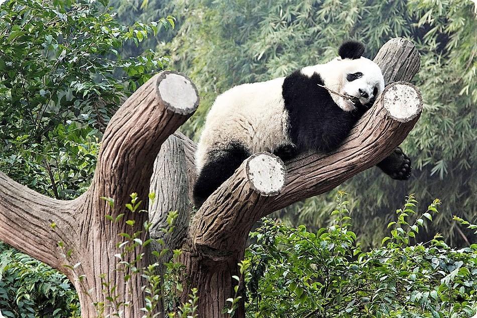 Заповедник панд