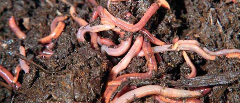 Технология выращивания червей в домашних условиях 94