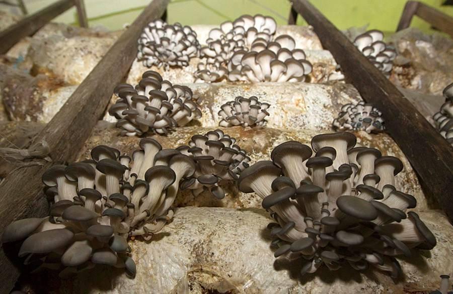 Выращивание гриба вешенки фото