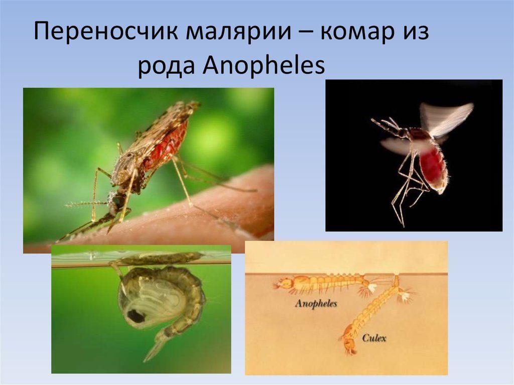 Переносчики малярии