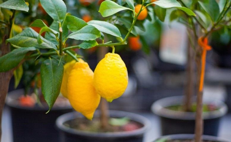 Лимонное деверо